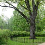 Тургеневский дуб продолжает лидировать в конкурсе «Российское дерево года – 2021»