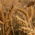 Более 3,1 миллиона тонн зерна намолочено в Орловской области